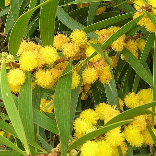 Acacia (Acacia confusa)