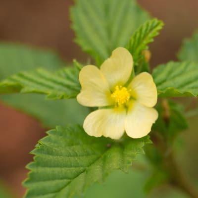 Bala (Sida cordifolia)