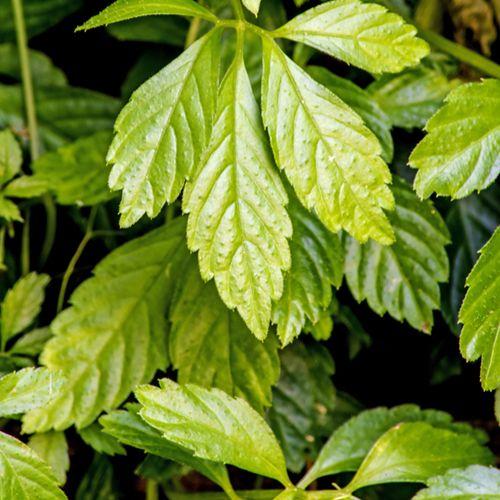 Jiaogulan (Gynostemma pentaphyllum)