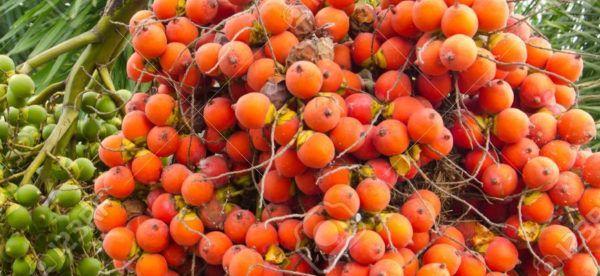 Areca Nut (Areca catechu)