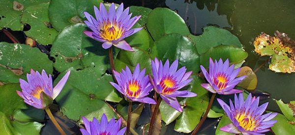 Blue Lotus (Nymphaea caerulea)